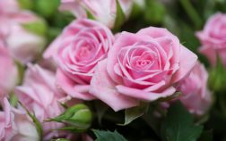 Roses | Tips for Care After Planting Rose Bushes | Gardening Tips | Gardening Makeover | Garden Help Trowbridge